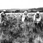 Scything hay